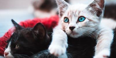 Haz el test: ¿qué raza de gato va más contigo?