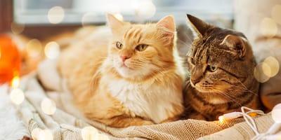 ¿Te gustan más los gatos de pelo corto o de pelo largo?
